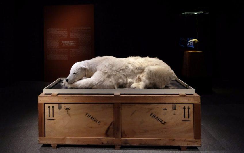 Kunstwerk van Mark Dion: Misschien komt er een tijd dat de ijsbeer alleen nog in het museum te bewonderen is. © Kunst- und Ausstellungshalle der Bundesrepublik Deutschland GmbH