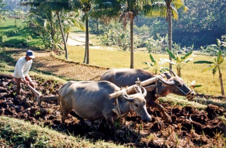 Karbouwen voor een ploeg in Indonesië - cc