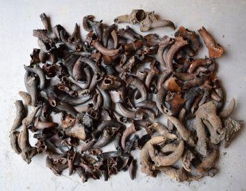 Hoorns en hoornpitten die tijdens de opgraving zijn gevonden. (Archeologie West-Friesland)
