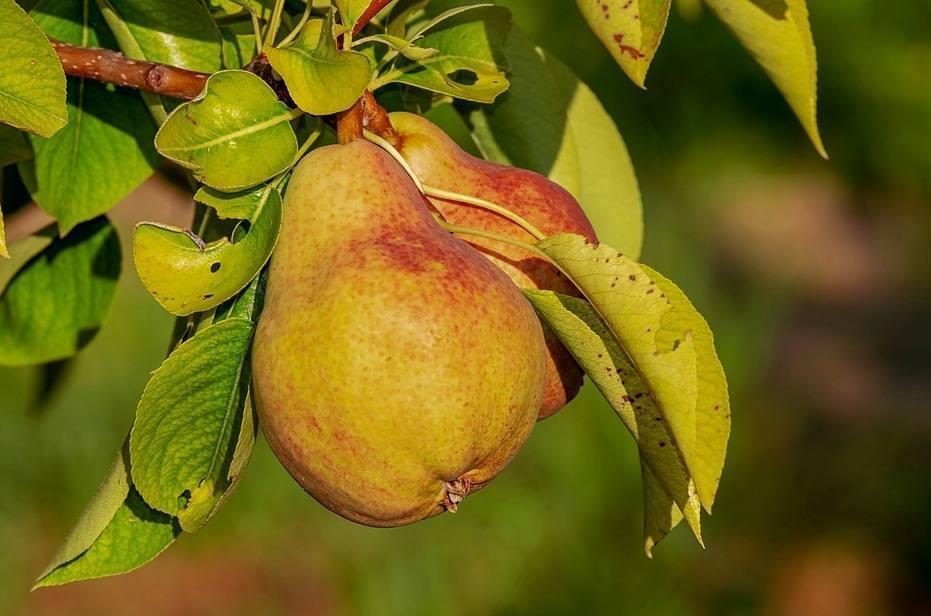 De perenboom van Augustinus