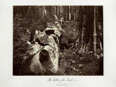 Carlton E. Watkins; The Father of the Forest, 112 feet circumference, Calaveras Grove; c.1876; albumen silver print from glass negative; The Metropolitan Museum of Art