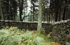 Andy Goldsworthy; The Wall that Went for a Walk (detail of wall and tree); 1990; Grizedale Forest Park, Cumbria