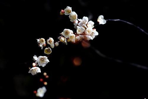 梅 の 花 一輪 咲い て も 梅 は 梅