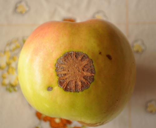 Το... μήλο της Βεργίνας