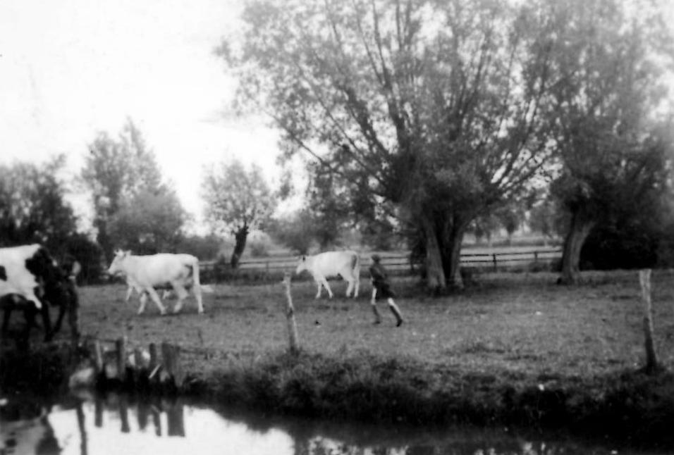 1940. Barbara Billings (Laura Browning's great-niece) aged 8, herding cows in meadows opposite 14 Charney (Brook Cottage)