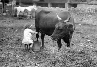 Dora Milking Cow 1916