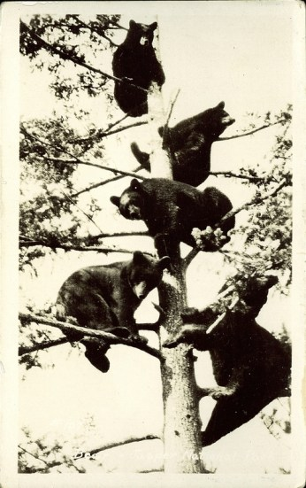 Bears, Jasper National Park. Photographed and Copyrighted by G. Morris Taylor, Jasper National Park, Canada, circa 1940: peel.library.ualberta.ca/postcards/PC008208.html