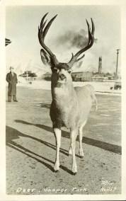 Taylor G. Morris (Photographer) . Deer, Jasper Park, circa 1940. peel.library.ualberta.ca/postcards/PC008221.html