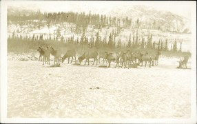 Elk, Jasper National Park. Jasper: circa early 1900s. http://peel.library.ualberta.ca/postcards/PC008227.html