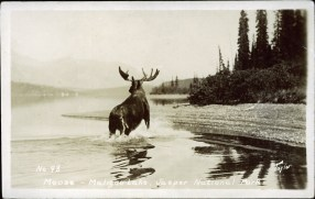 Moose - Maligne Lake, Jasper National Park, circa 1943. peel.library.ualberta.ca/postcards/PC008232.html