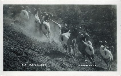 Big horn sheep, Jasper Park. Photographed and Copyrighted by J.A. Weiss, Jasper National Park, Canada, circa 1946. http://peel.library.ualberta.ca/postcards/PC008248.html