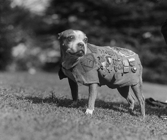 historical photograph Sergeant Stubby, the most decorated war dog of the First World War, photographed in military uniform between 1919 and 1921.