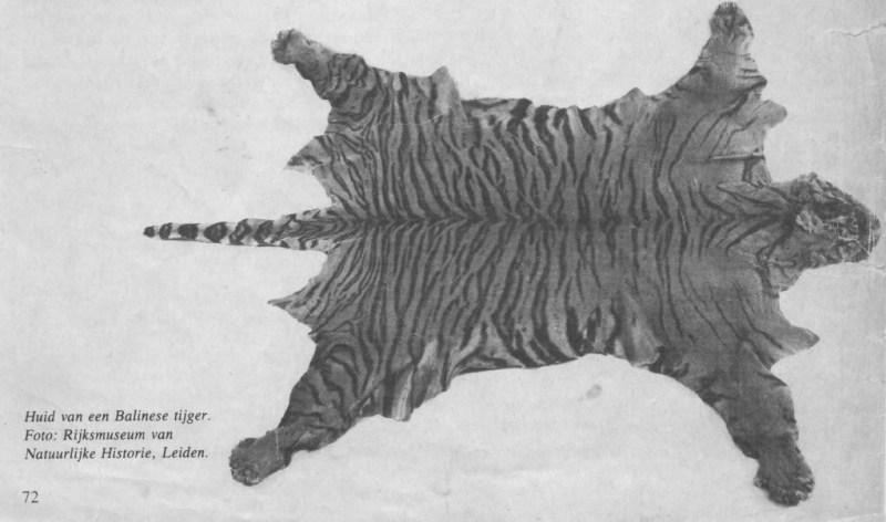 Bali tiger skin