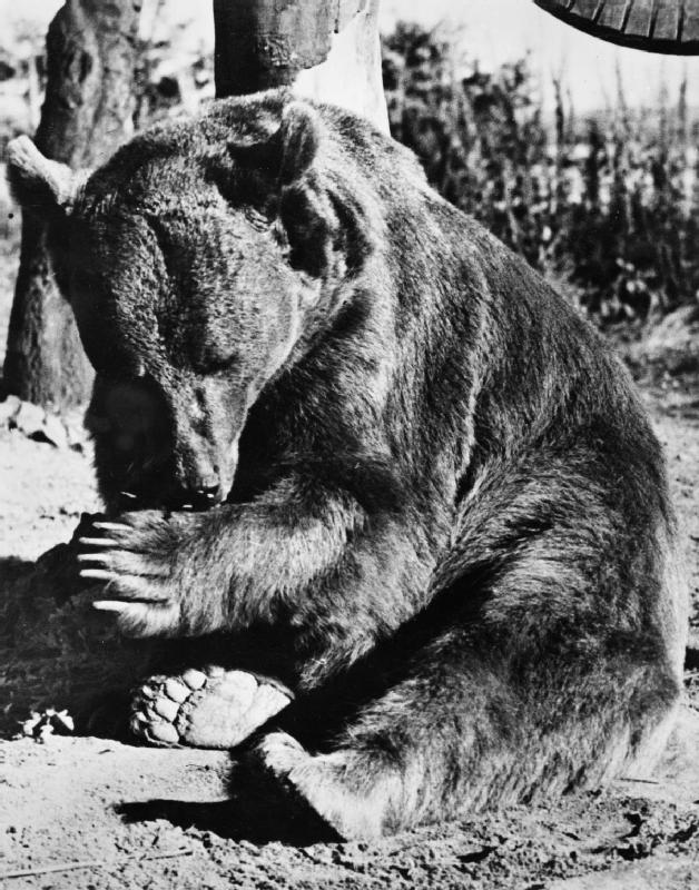 Wojtek, Syrian Brown Bear animal in the army