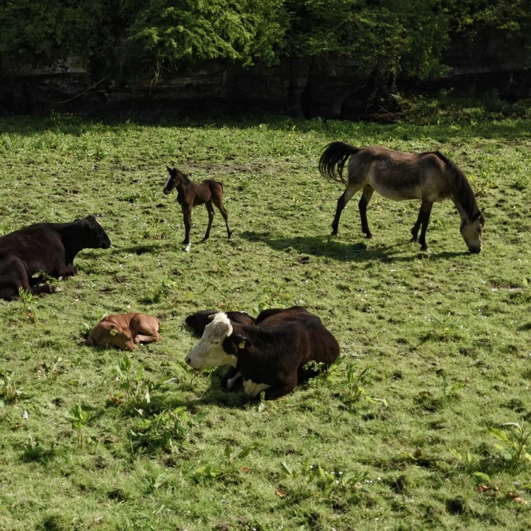 Cows and horses and calves and a foal