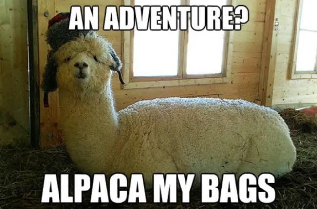 Alpacca Travel Meme