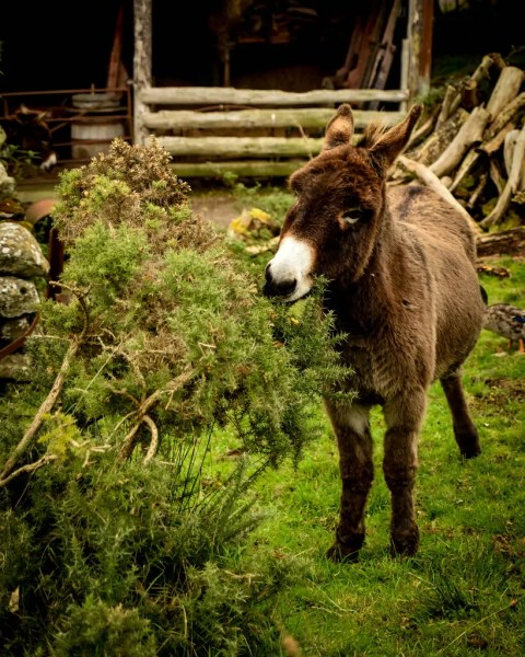 Molly Gallivan's has been restored to an 1840s traditional Irish Farm - donkeys included.
