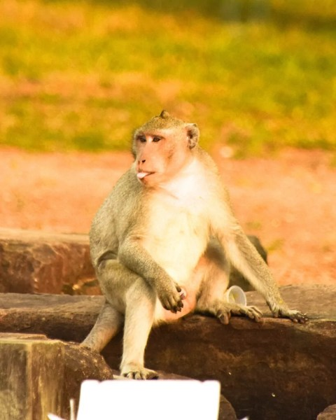 Angkor Wat Monkeys