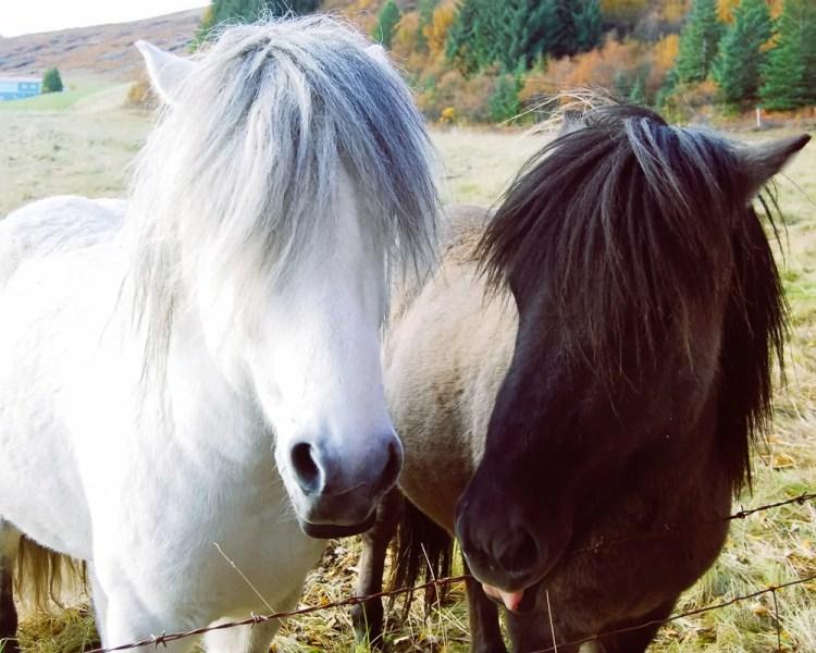 Iceland - Reykjavik - Icelandic Horses
