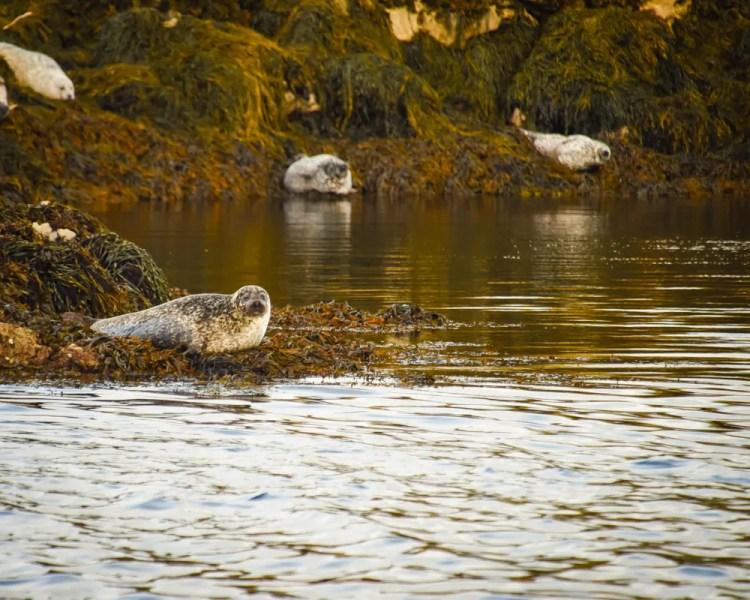 Ireland - Kenmare - Bay of Kenmare Seals