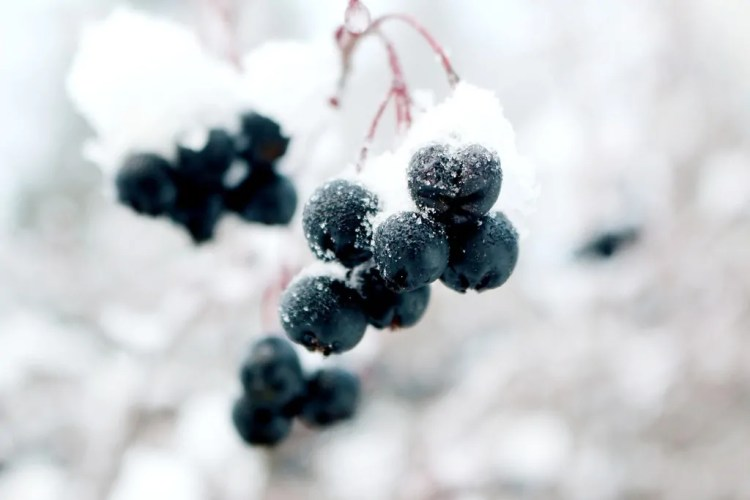 Canada - Montreal - Frozen Grapes - Pixabay