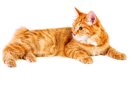Red bobtail Cat