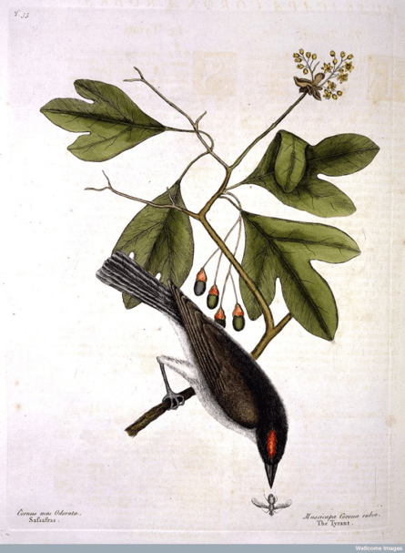 the-tyrant-bird-on-a-sprig-of-sassafras