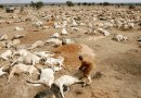 2016: Zimbabwe: 700,000 cattle died in 2 years (national herd drops by 11.7%)