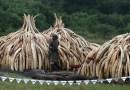 4 Pics: Blacks kill 30,000 Elephants in Africa annually: Botswana 100 elephants killed for ivory recently