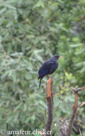 Blue Laughing Thrush
