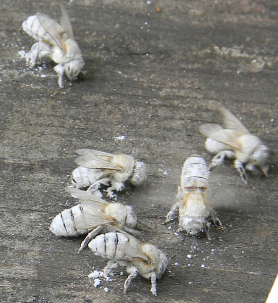 Several white bees, from being covered in powder sugar, shake off the remnants of their sugar roll mite test