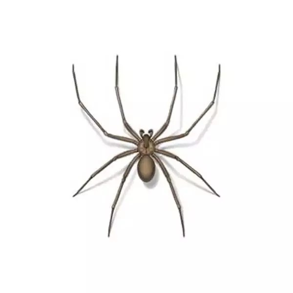 recluse spider identification prevention