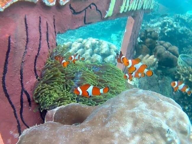 (Ikan Nemo yang terkenal di Taman Nemo Pahawang - jumanto.net)