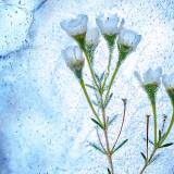 凍った白い花