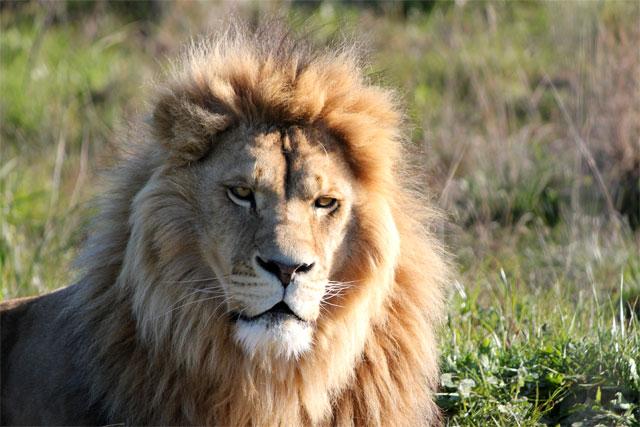 lejonet640