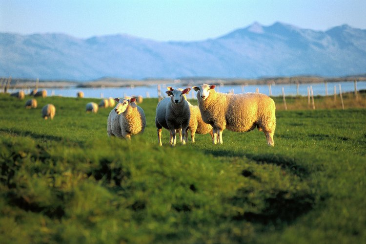 VisitNorway_Sheeps_1500