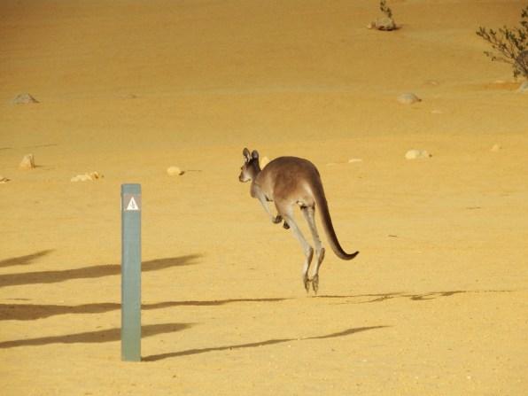 Kangaroo on the walking trail at the pinnacles