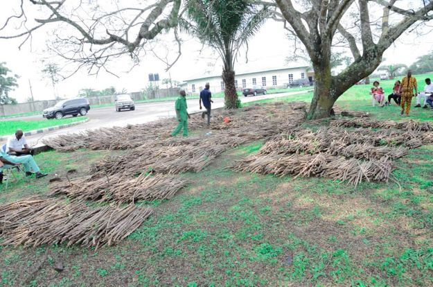 Oyigbo council Chairman distributes new specie of cassava stem to Farmers