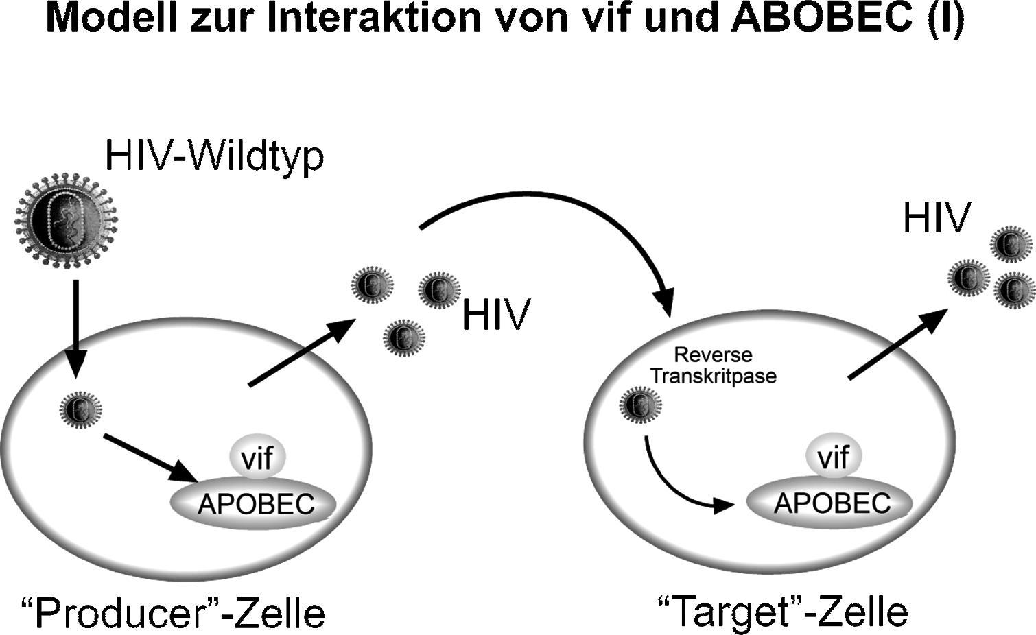 3 Pathophysiologie Der Hiv Infektion