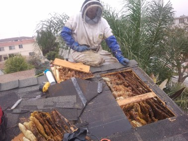 Bee removal in Hawthorne involving africanized bees that killed a dog.