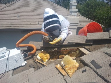 Technician vacuuming bees during live bee removal in Orange CA.