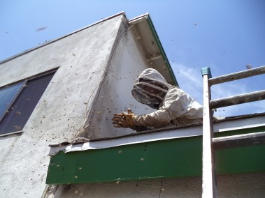 Bees attacking a technician before bee removal.