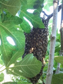 Bee swarm in bush in North Hollywood.