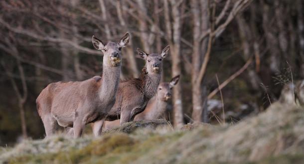 Antall felte hjort i kjerneområdene på Vestlandet gikk ned siste jaktsesong. (Foto: Egill J. Danielsen)