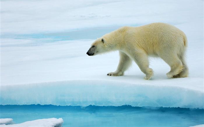北極熊在冰上行走 高清桌布 | 動物 | 電腦桌布預覽 | HK.HDWALL365.com