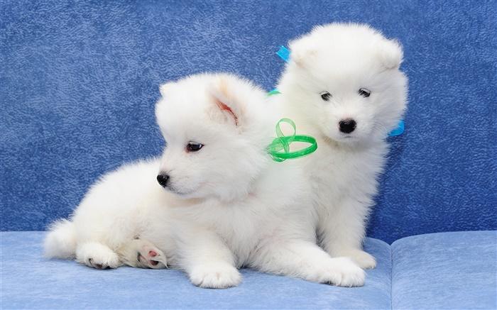薩摩耶,白色的狗,小狗 高清桌布 | 動物 | 電腦桌布預覽 | HK.HDWALL365.com