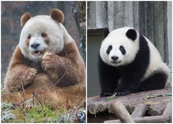 研究:秦嶺熊貓與四川30萬年前分開 遺傳不多展獨特性|即時新聞|兩岸|on.cc東網