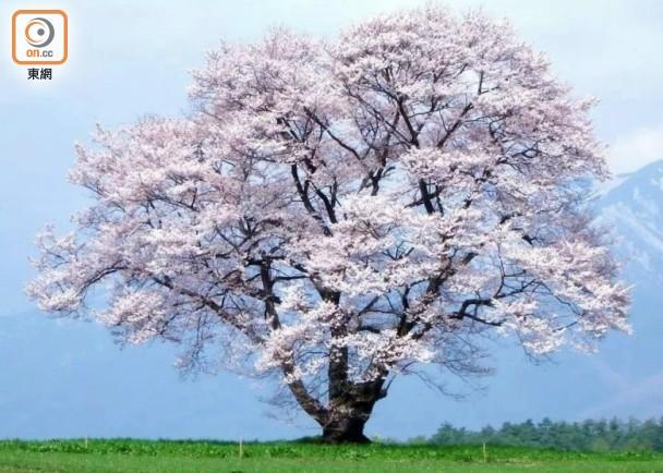 小巖井 冬天的櫻花樹|即時新聞|生活|on.cc東網