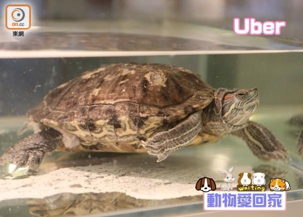 動物愛回家:巴西龜Uber|即時新聞|生活|on.cc東網