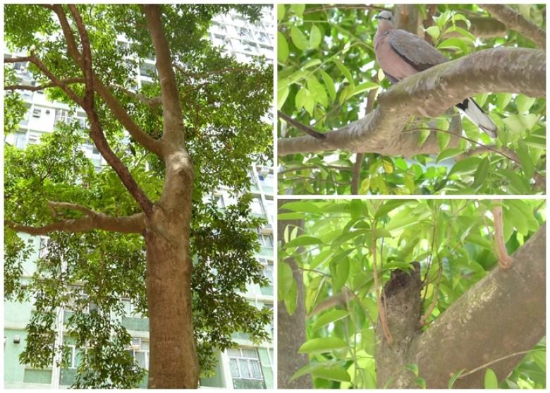 房署被質疑錯認土沉香為榕樹 專家促防斬樹 - 東網即時
